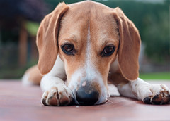 this sweet face (cathy sly) Tags: baker beagle hound doglove