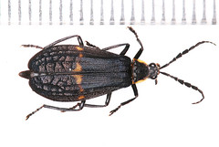 Nov gen Lampyridae2017-11-30bza_2904c (mcclarinj) Tags: jimmcclarin cosanga napo ecuador lampyridae