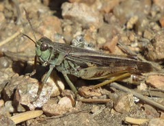 Clear-winged Grasshopper (Bug Eric) Tags: animals wildlife nature outdoors insects bugs grasshoppers oedipodinae acrididae orthoptera colorado usa clearwingedgrasshopper camnulapellucida muellerstatepark northamerica october72019