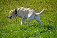 Iva (glaserei) Tags: iva labrador labi retriever hund haustier