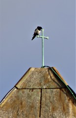 Magpie on a Cross (Rev Paul O'Connor) Tags: wolverhampton penn stmichael catholic church magpie roof cross