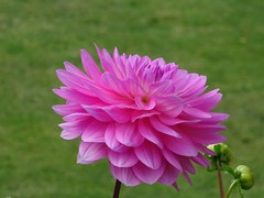 Pink Dahlia (guyfogwill) Tags: 2019 autumn beautiful bloom colour dahlia devon dschx60 england europe ex3 exeter flicker flower flowers fogwill gb gbr greatbritan guy guyfogwill historic history october sony southwest toppeshamme topsham uk unitedkingdom photo interesting absorbing engrossing fascinating riveting gripping compelling compulsive