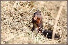Ecureuil noix 191010-01-P (paul.vetter) Tags: écureuil mammifère sciuridé squirrel eichhörnchen ardilla