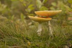 Paddenstoel - Solleveld - 's-Gravenhage (Jan de Neijs Photography) Tags: paddestoel macro canonef100mmf28lmacroisusmlens bos forest nationaalparkhollandseduinen zuidhollandslandschap zuidholland holland nederland thenetherlands denhaag closeup mushroom toadstool herfst autumn zwam paddenstoel thehague pilze paddo fungi loosduinen beschermdnatuurmonument natuurmonument nl dieniederlande southholland zh nature natuur solleveld nationaalpark duingebiedsolleveld natura2000 solleveldkapittelduinen dunea duneaduinwater sgravenhage duingebied oudeduinen kaartuit1611vanflorisbaltasarz lahaye natura2000gebied animal dier konijn waterwingebied natuurbeschermingsgebied seta