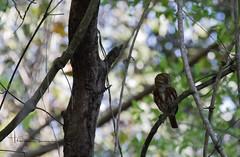 Pygmy Owl (tsd17) Tags: wildlife owl bird pantanal brazil canon 7dmk11