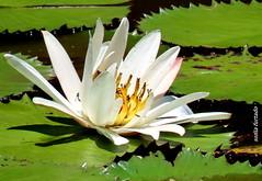 Quinta-flower (sonia furtado) Tags: quintaflower flor flower floraquática soniafurtado frenteafrente