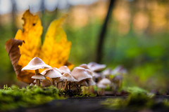 _DSC0848 (Koberek@) Tags: sulików koberek nikon d7200 mushrooms macro makro nature sigma 1750 wald