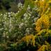 Autumn goldenrod & oxeye daisies (02)