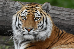 Siberian tiger - Tierpark Hagenbeck (Mandenno photography) Tags: animal animals dierenpark dierentuin dieren duitsland germany zoo tiger tigers tijgers tierpark hagenbeck hamburg bigcat big cat cats bbcearth nature ngc natgeo natgeographic discovery animalplanet