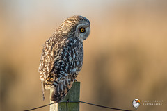Short Eared Owl (Simon Stobart - Just Got Back) Tags: short eared owl asio flammeus north east england uk