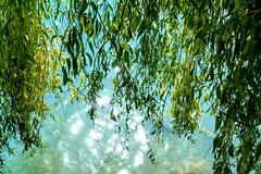 Sunlight (Bephep2010) Tags: 2019 7markiii alpha bern blätter brienzersee ilce7m3 lakebrienz oberried oberriedambrienzersee sel24105g schweiz see sommer sonnenlicht sony switzerland green grün lake leaves summer sunlight ⍺7iii kantonbern