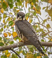 Hobby juvenile (Falco subbuteo) (keith27a) Tags: birds fauna hobby naturesubjects falcosubbuteo birdsofprey falcon nikon d850 nikon300mmf4epf