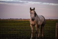 Yerseke (Omroep Zeeland) Tags: horse moer yerseke zeeland sunrise netherlands holland nature