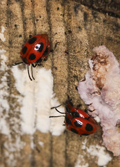 Photo of Mating Handsome Fungus Beetles - Endomychus coccineus
