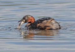 DSCF2354 Little Grebe,  with lunch  ! (Dennis Swaby) Tags: bird grebe littlegrebe