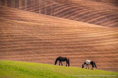 Horses in the Palouse (David Swindler (ActionPhotoTours.com)) Tags: agriculture easternwashington horse palouse washington farm fields horses