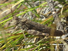 Crackling Forest Grasshopper (Bug Eric) Tags: animals wildlife nature outdoors insects bugs grasshoppers acrididae oedipodinae orthoptera male colorado usa cracklingforestgrasshopper itrimerotropisverruculatai muellerstatepark northamerica october72019