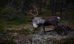 (jpuuskaphotography) Tags: reindeer levi lapland finland fall animals wildlife