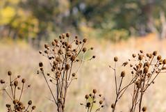 Wildflower Seedheads (mahar15) Tags: autumn fall nature outdoors organic seedheads prairieplants driedseedhead wisconsin