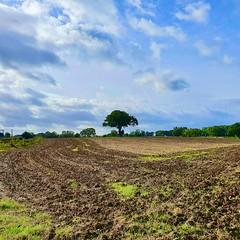 Lone tree (Ugborough Exile) Tags: churcheaton stafford staffordshire midlands england uk s10 2019 trees treesdiestandingup