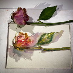 Day 1524. The #rose #painting for today. #watercolour #watercolourakolamble #sketching #stilllife #flower #art #fabrianoartistico #hotpress #paper #dailyproject (akolamble) Tags: rose painting watercolour watercolourakolamble sketching stilllife flower art fabrianoartistico hotpress paper dailyproject