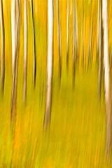 Poplar Grove (ebergcanada) Tags: fall poplar icm intentionalcameramovement abstract nature autumn tree canada