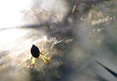 looking back into the sun (conall..) Tags: nikon afs nikkor f18g lens 50mm prime primelens nikonafsnikkorf18g closeup raynox dcr250 macro county down tullynacree nw551041 annacloy field northernireland backlit backlight intothelight sun sunny silhouette butt spiderbutt refraction colour scatter light wavelength dependent bands silk web spider scatterscape desenfoque outoffocus narrow dof selective focus linyphiidae probably lyniphia triangularis lyniphiatriangularis probablylyniphiatriangularis ulex europaeus gorse bush shrub scrub ulexeuropaeus gorsebush gloeinglegs