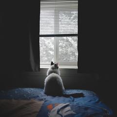 day 282 (Randomographer) Tags: project365 window bed snow cat kitty bedroom soft light companion friend mammal animal cute white fluffy feline felis catus gata furry kat 猫 貓 kočka kissa katze γάτα बिल्ली macska köttur kucing 고양이 кошка katt แมว con mèo ears pet love quadruped fur composition 282 365 vii 2019