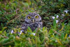 Burrowing owl sitting on his burrow, Southwest Florida (diana_robinson) Tags: burrowingowl athenecuniculariasi burrow owl southwestflorida wildlife nature nopeople animalinthewild oneanimal bird portrait outdoors