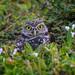 Burrowing owl sitting on his burrow, Southwest Florida