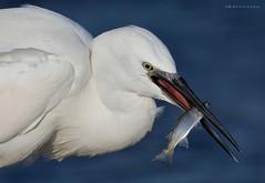 Fishing (MoGoutz) Tags: bird fishing kalochori καλοχώρι πουλί λευκοτσικνιάσ κεφαλόπουλο γαλλικού εκβολέσ ψάρεμα garzetta egretta egret little sunrays5