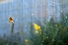 Making repairs (Drew Scott :))) Tags: outdoor garden spider gardenspider web light silk strands nature animal sun morning colour pattern fleurdelys plants nikon d3200 nikkor