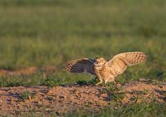 BT3A6272-1 (M Coopwood) Tags: owl burrowing bird nature wildlife