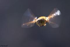 Eristalinus taeniops (g.cordel) Tags: macro syrphe hoover flight