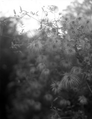 autumn bloom (salparadise666) Tags: nagaoka 4x5 schneider symmar 135mm fomapan 200 boxspeed caffenol 45min nils volkmer large format analogue film camera bokeh dof bw black white monochrome flower vertical