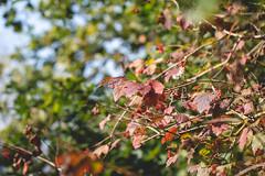 Photo of Autumn Viburnum
