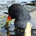 Moorhen at WWT London Wetland Centre