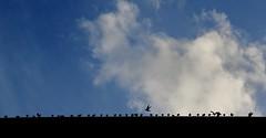 Religieuse Aviaire Force ! (Tonton Gilles) Tags: graphisme ligne oiseaux pigeons ciel nuage bleu blanc ombres chinoises nef toit église basilique notredame dalençon alençon normandie envol chamailleries