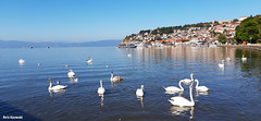 October gathering (borisnaumoski) Tags: ohrid macedonia lake birds swans october autumn nature town pier promenade