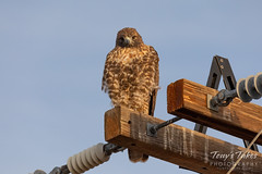 October 5, 2019 - A red tailed hawk keeps close watch. (Tony's Takes)