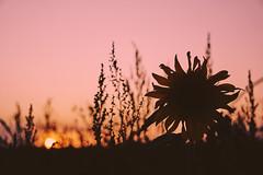 sunset sunflower (Jos Mecklenfeld) Tags: sunset sonnenuntergang zonsondergang landscape landschaft landschap westerwolde niederlande nederland sonya6000 sonyilce6000 sonye55–210mmf45–63oss sel55210 terapel groningen netherlands
