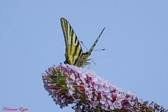 Pour mon ami Phil (Ezzo33) Tags: france gironde nouvelleaquitaine bordeaux ezzo33 nammour ezzat sony rx10m3 parc jardin papillon papillons butterfly butterflies flambé iphiclidespodalirius