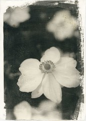 In my yard (Mark Dries) Tags: markguitarphoto markdries foma liquidemulsion hasselblad500cm planar extensiontube darkroomprint darkroom altproc handmadepaper doublecoating