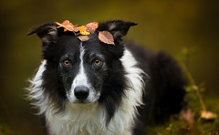 41/52 Sufferance (JJFET) Tags: 41 52 weeks for dogs paddy border collie sheepdog dog herding