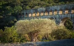 1000 jährige Olive vor der Pont du Gard (moni-h) Tags: bauwerk bogenbrücke france frankreich natur olympusm12100mmf4pro oktober2019 okzitanien olympusomdem1markii pontdugard wasserkanal römischeraquädukt olivenbaum verspontdugard gard départementgard
