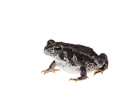 Oak Toad on white (brian.magnier) Tags: macro florida fl usa meet your neighbors white background oak toad amphibian cute herp herpetology wildlife animals nature