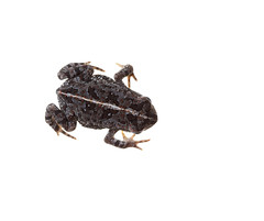 Oak Toad on white 2 (brian.magnier) Tags: macro florida fl usa meet your neighbors white background oak toad amphibian cute herp herpetology wildlife animals nature