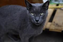 "48. "" Look at me"" (Manupastor43) Tags: naturaleza black nature animal cat canon retrato gato mamífero 2470 salvaje photo lookingatyou outside light focus felino savaje spain oropesa"
