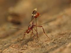 Braconid Wasp Ovipositing (treegrow) Tags: rockcreekpark washingtondc nature lifeonearth raynoxdcr250 arthropoda insect hymenoptera braconidae doryctinae