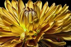 Golden Mum (maspick) Tags: flower plant floral bloom blossom petals stamen focusstack 110images chrysanthemum orange nature macro iowa unitedstates